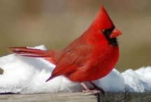 Cardinals / by Janis Sweat