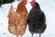 I Love Chickens / by Nancy Alexander