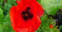 Poppys - Klaprozen