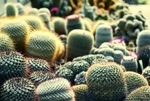 Succulents and Cacti / by Wilder Quarterly