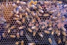 honey bees / Honey Bees The ins and outs of honey bees. What they like, what they pollinate, why are they declining. How can we help them.