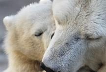 Polar Bears / by Carolyn Thurn-Alarcon