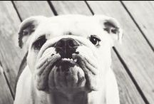a thing for bulldogs