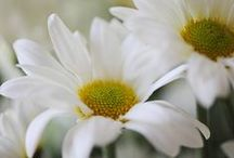 I love daisies... / eu amo margaridas... / by MariaFatima El-Khatib Borges Gomide