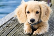 Adorable Dachshunds / A collection for one of my favorite breed of dog :)