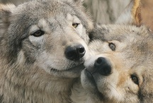 Beautiful Wolves ~♥~ / I loooove wolves, so this is a board for beautiful wolves :)