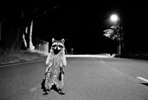 Raccoons, they be crazy