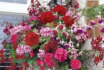 Amplar med sommarblommor / Inspireras av vackra blomsteramplar. Handla blommorna och färdiga ampelmixar i vår butik alltomtradgard.se/butik