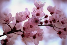 Cherry Blossoms / by Dorothy Pearce