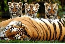 Tigers / by Sylvia Hunts