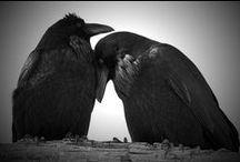 black birds ♥ / my spirit my love my flight my soar  / by Ghislaine Kruse-van Erp