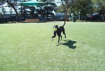 K9 Grass for the Dogs / Let's here it for the puppies! This K9 Grass, synthetic grass for dogs, has been installed for multiple dog parks and backyards.