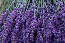 Lovely Lavender / Lavender photos, gardens, and ways to use lavender