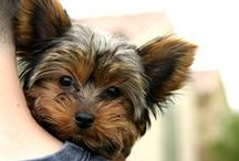 Yorkies / Small breed with a big heart and spirit...