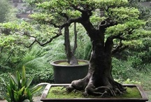 Bonsai / I love bonsai trees. It's a dream of mine to one day be able to keep one alive. :-(