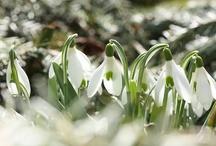 Sneeuwklokjes - Snowdrops