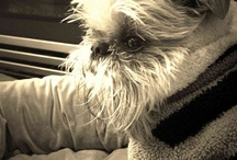 *Brussels Griffon Lover* / by TINA TOBAR