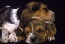 Basset Hound Love! / A board for all who love basset hounds - please share your pictures and ideas! (1) No breeder ads, but ads from rescues & shelters are encouraged. (2) Don't re-pin what someone just pinned to the board. (3) People who pin spam or pins unrelated to bassets will be removed. / by Kari O.