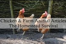 Chickens, Cows, Goats, Sheep, Pigs, Horses -  The Homestead Survival - / Homesteading livestock: chicken, goat, cow, sheep, pig, horse Livestock are domesticated animals raised for food, fiber, labor, dairy products and fertilizer. Learning the skills to properly take care of animals is hard work but is most important job entrusted to us. / by The Homestead Survival