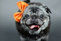 Pugz / Wrinkles, snores, curly tails and eye goobers. / by Sarah Cassidy