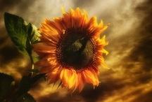 Sunflowers / by Melanie Bennett