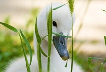 Avian - Swan / by Kadag Drolma