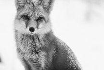 Wildlife // Foxes / by Karsten Koehn