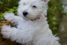 Westie / I want one!! <3