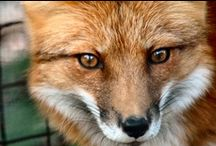 Foxes; Sly & Intelligent <3