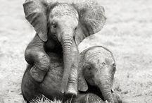 Elephants, Sentient Beings