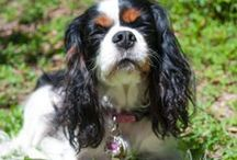 Living the Cavalier life<3 / All things Cavalier King Charles Spaniels