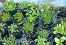 Gardening: Veggies & Herbs / Vegetable & Herb Gardening / by Paige E.