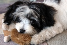 Our Dog Sophie / This is our Dog Sophie she is a 4 year old Havanese