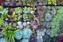 Succulents / Succulents and other little delights