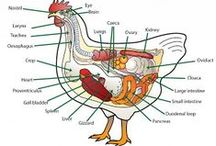 [ Gardening ] Chick, Chick, Chicken / We've got two hens who haven't laid a single egg yet.  / by Jennifer Walker
