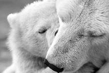 isbjørn / polarbear, polar bear, cub, isbjørn, save