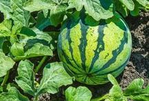 In the garden / Interesting and factual pins about growing and using herbs and vegetables