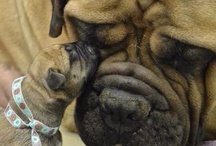 bullies, as in dogs; bullmastiff and english bull dogs / by Kathy Vyvijal