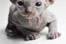 Sphynx Cats / Hairless kitties