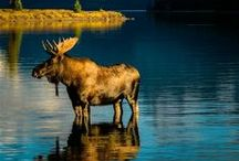 Moose / by Christina Eccles Smith