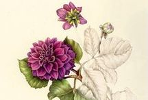 ASTERS and DAHLIAS