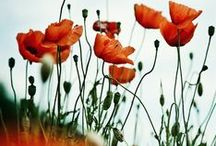 Poppies in July