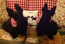 Dolly W...my scottie babies / My Scotties are my best friends.  They are very protective of all our family.  They are such sensitive and tender-hearted babies.  / by Jeanne Scottie mom