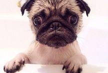 Pugs & Other Animals