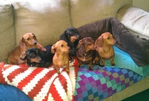 Doxies / by Cathy Gregory