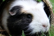 Guinea pigs / Because they're the most wonderful, beautiful, adorable creatures on earth. And everywhere else.  You can also follow my pinboard with Guinea pig gadgets: http://www.pinterest.com/marinaonline/guinea-pig-gadgets/ / by Marina