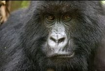 Gorilla trekking: My African Bucket List / Gorilla & chimp trekking in Uganda, Rwanda & Congo is the ultimate adventure but isn't always easy to arrange; let our safari specialists take care of it for you. / by Go2Africa