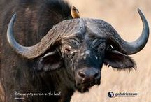 Wildebeest Migration Wallpapers / Our best moments from the annual Wildebeest Migration when a million animals cross the plains of the Serengeti in Tanzanian and the Masai Mara in Kenya in an age-old search for fresh grazing. / by Go2Africa