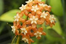 Houseplants: Hoya
