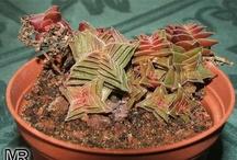 Houseplants: Crassula